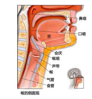 咽喉解剖图-声带息肉需要做哪些检查